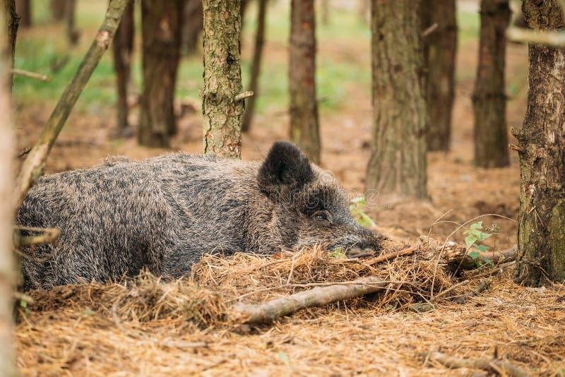 迟来的 野公猪或SU Scrofa,亦称狂放的猪, 库存照片
