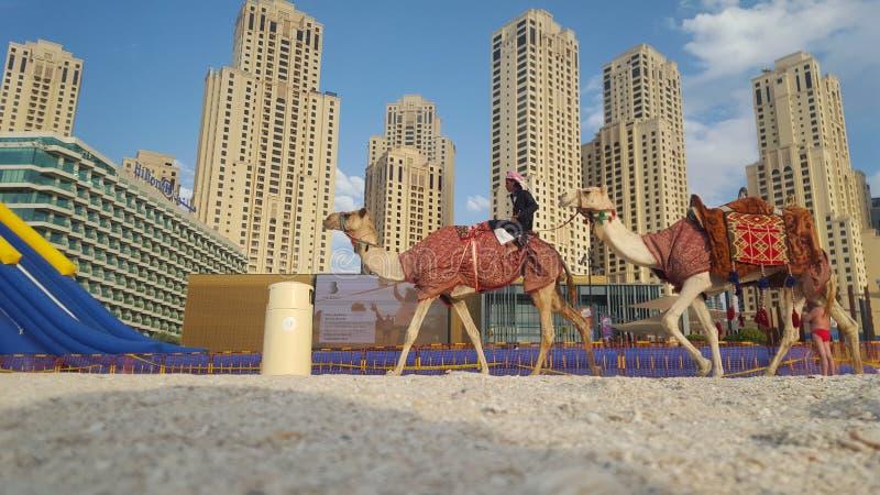 迪拜海滩caml和经典大厦 库存图片