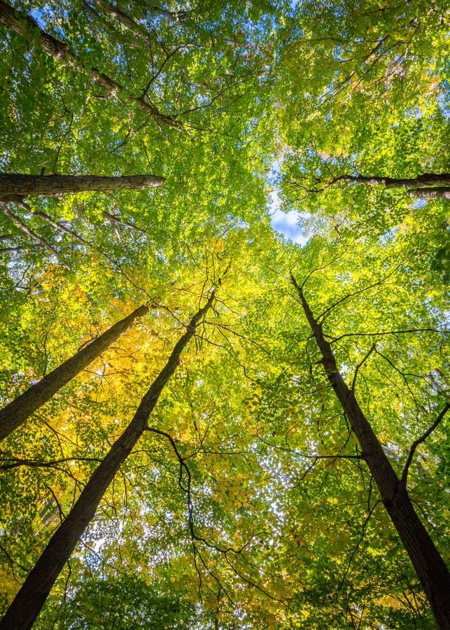 迷人林冠层的高大的树木 免版税库存图片