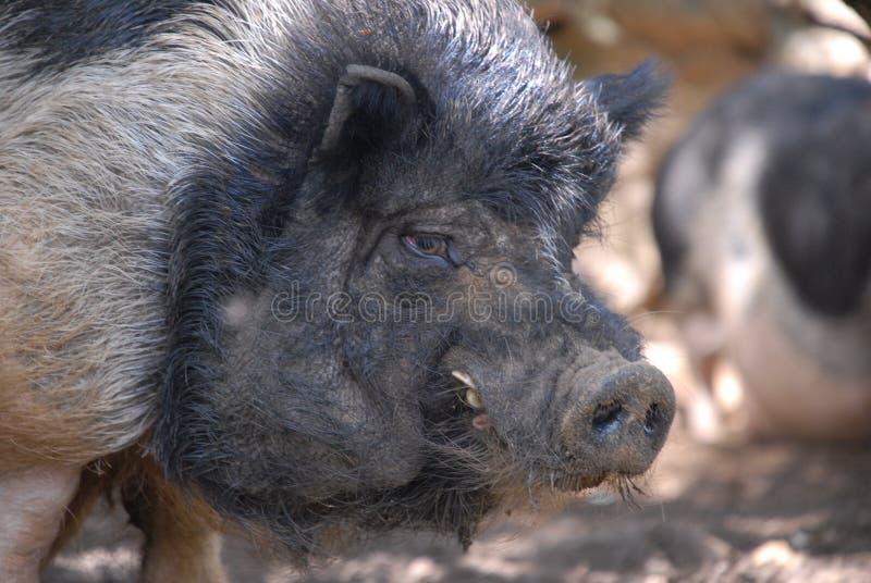 迷人的野生猪 免版税库存照片