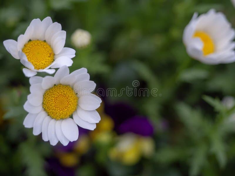 迷你延命菊花,白色瓣,美丽的黄色雄芯花蕊,在绿草领域增长 免版税库存照片