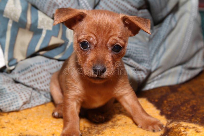 迷茫的小狗 免版税库存图片