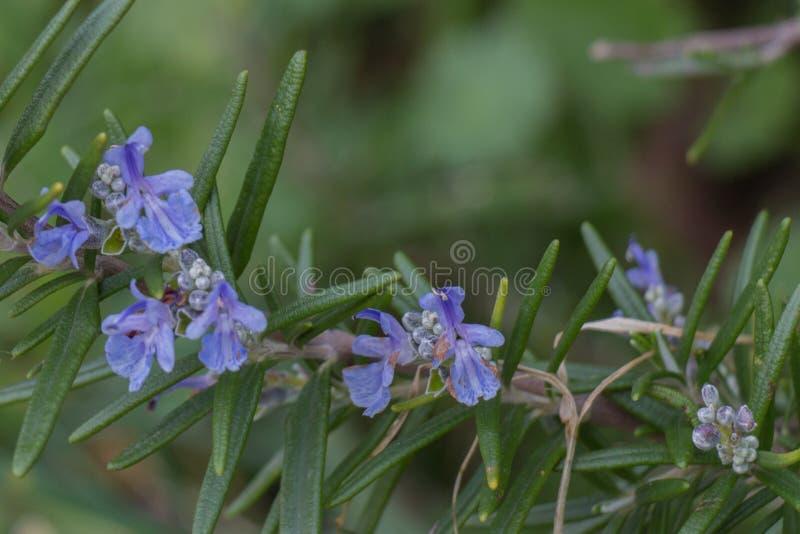 迷迭香开花的分支看法在绽放的 库存图片