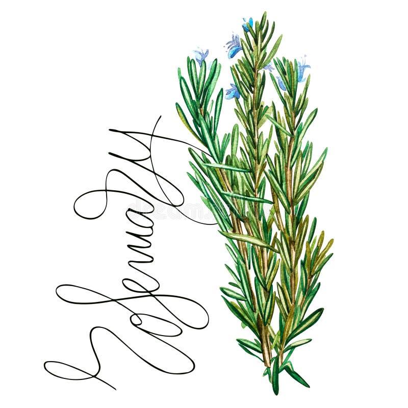迷迭香的植物的图画 为烹调用的烹饪草本的水彩美好的例证和装饰 向量例证