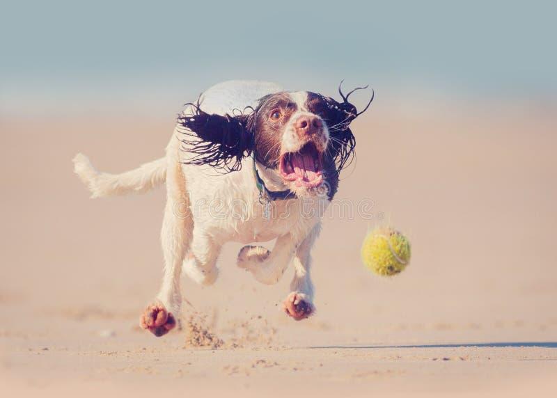 追捕球的狗