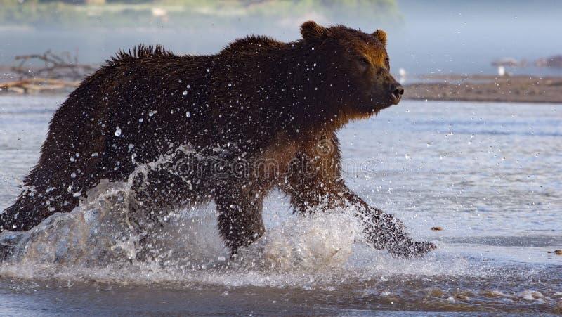 追逐三文鱼的棕熊在狩猎期间 库存图片