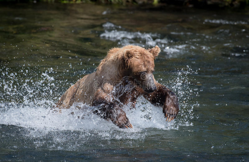 追逐三文鱼的阿拉斯加的棕熊 图库摄影