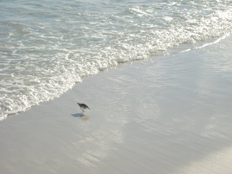 追逐在波浪的滨鸟晚餐 库存图片