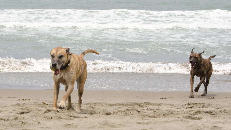 追逐在海滩的狗 免版税库存图片