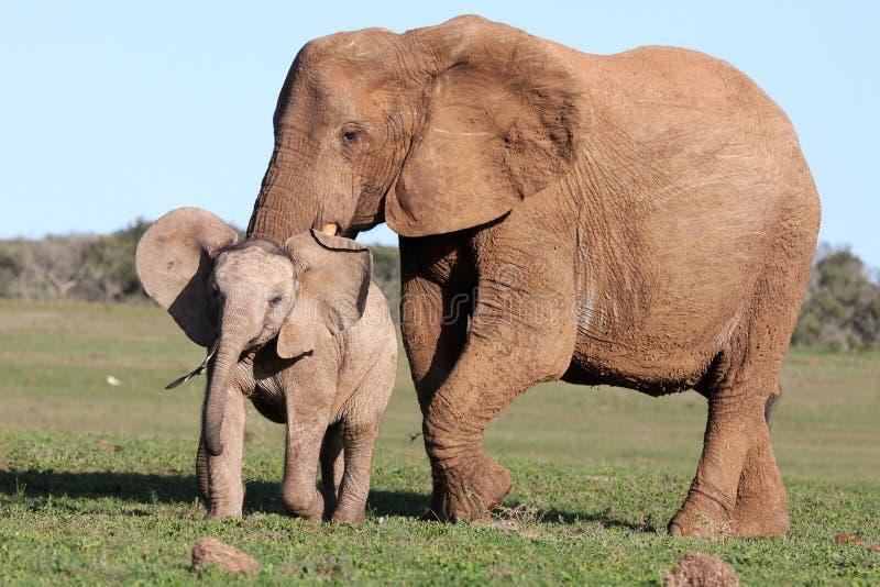 追逐大象的幼鸟 库存照片