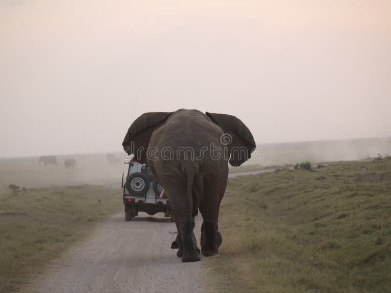 追逐大象的恼怒的汽车 免版税库存照片