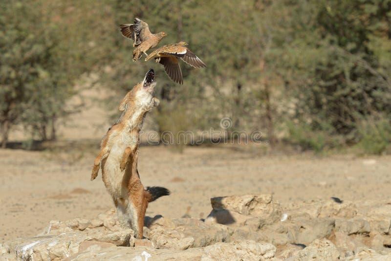 追逐沙鸡的狐狼 免版税库存照片