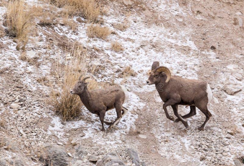 追逐母羊的大角野绵羊Ram 免版税库存图片