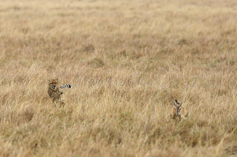 追逐汤姆生瞪羚的猎豹 免版税图库摄影