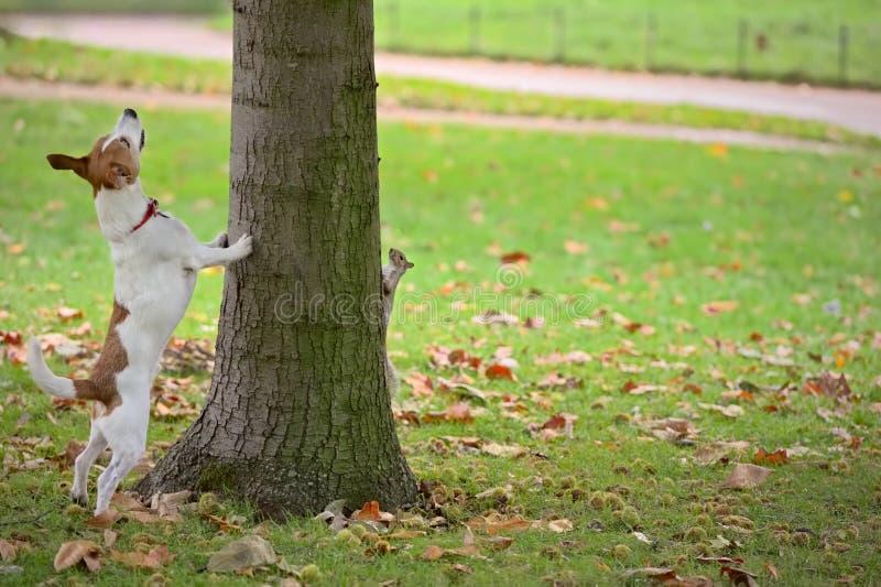 追逐狗隐藏的灰鼠结构树  免版税库存图片