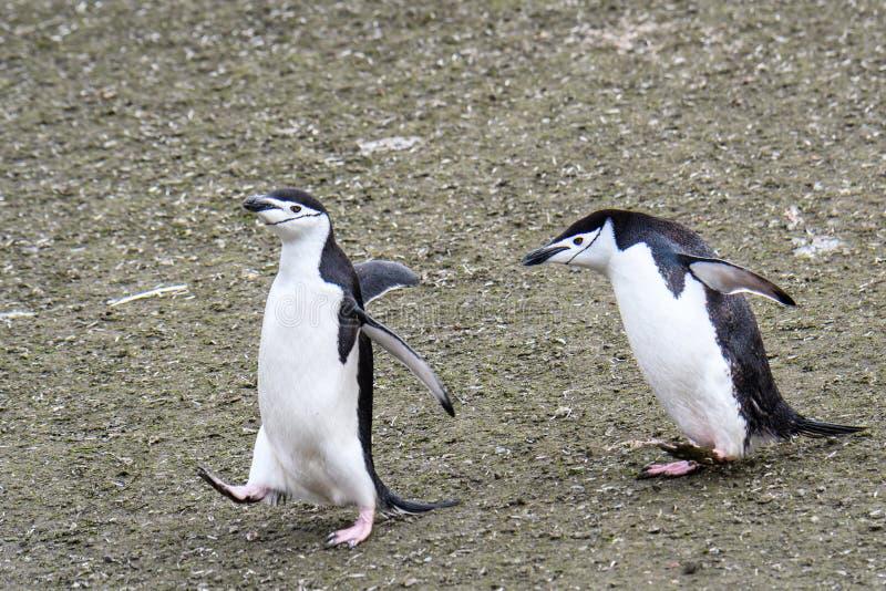 追逐的两只成人Chinstrap企鹅横跨土,艾秋群岛,南设得兰群岛,南极洲 免版税库存照片
