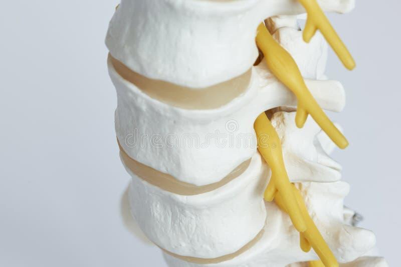 退出从腰脊柱模型的神经特写镜头视图 免版税库存照片