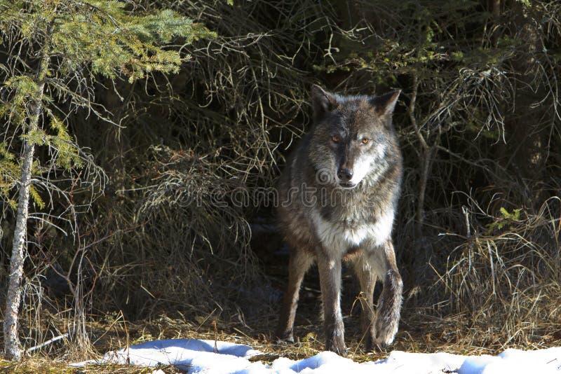 退出小室站点的黑狼 免版税库存照片