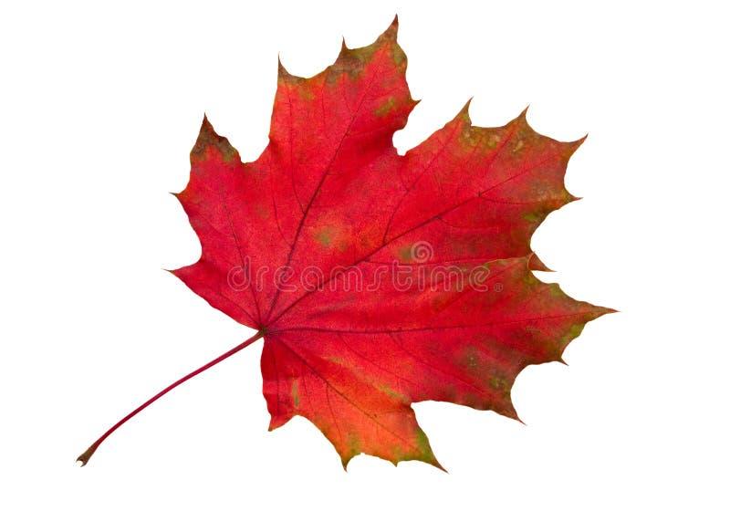 退色的叶子槭树红色 免版税库存照片
