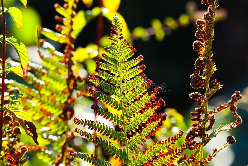 退色的绿色和棕色蕨蕨Adlerfarn,蕨属Aquilinum淡光的发光在秋天太阳的菲尔森,德国 免版税库存图片