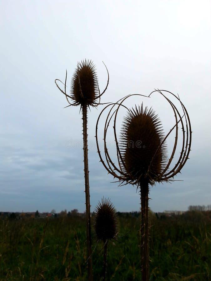 退色的蓟在秋天开花在草甸 库存图片