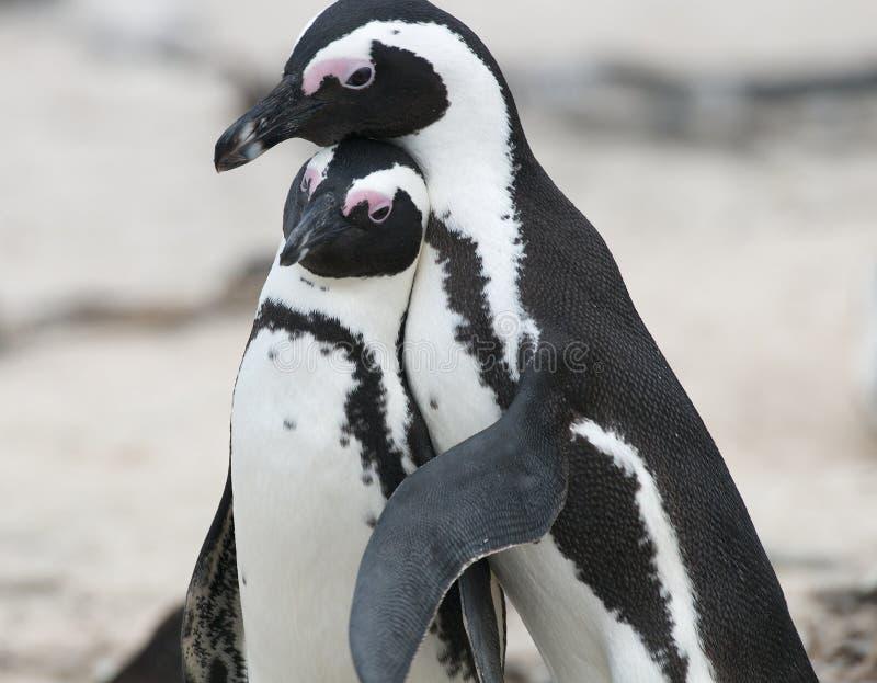 适合的企鹅 库存图片
