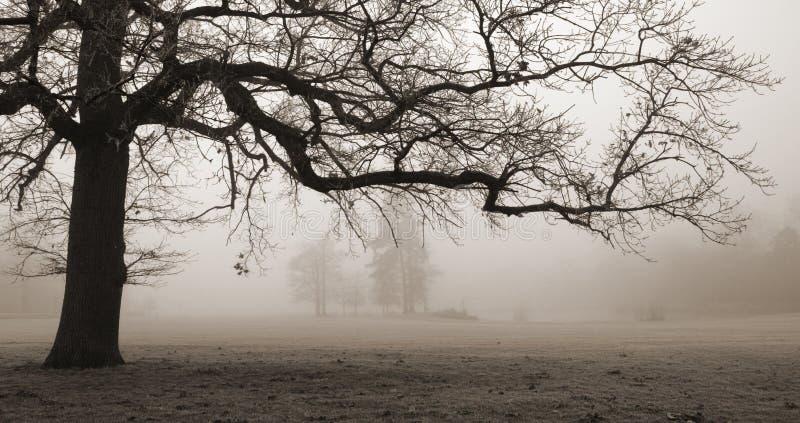 适应有雾的橡木老结构树 库存图片