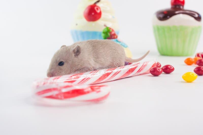 适当的营养的概念 一点与甜点的老鼠 库存照片