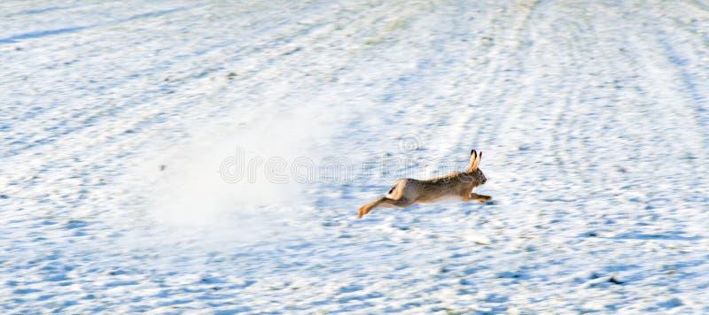 逃脱的野兔 免版税库存图片
