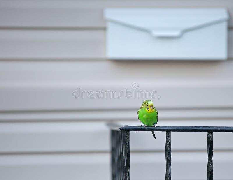 逃脱的长尾小鹦鹉宠物 免版税库存照片