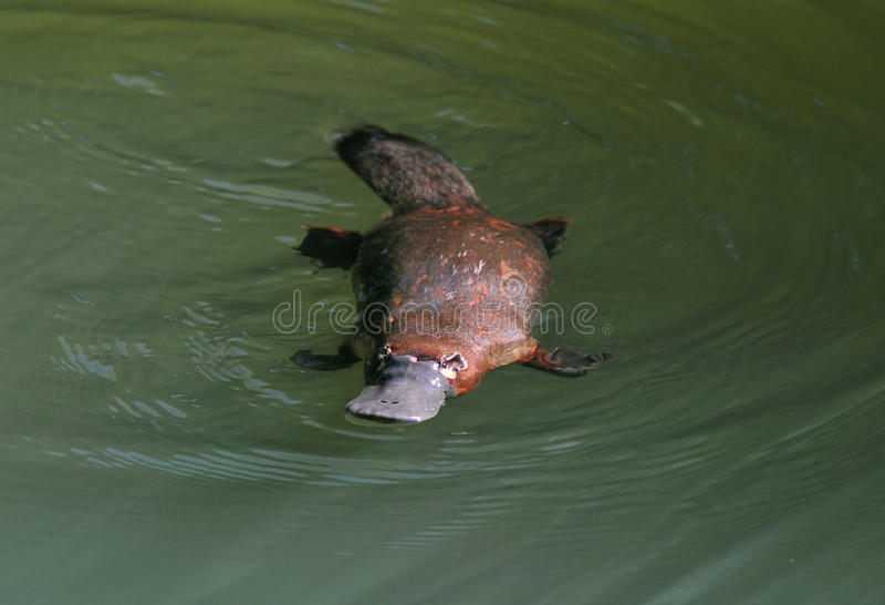 逃避澳大利亚鸭似的platypus,昆士兰 免版税库存照片