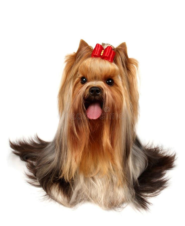 选件类显示狗约克夏 免版税图库摄影