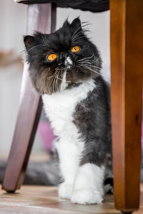 选址在一个木地板上的黑白波斯猫看围绕桌腿 免版税图库摄影