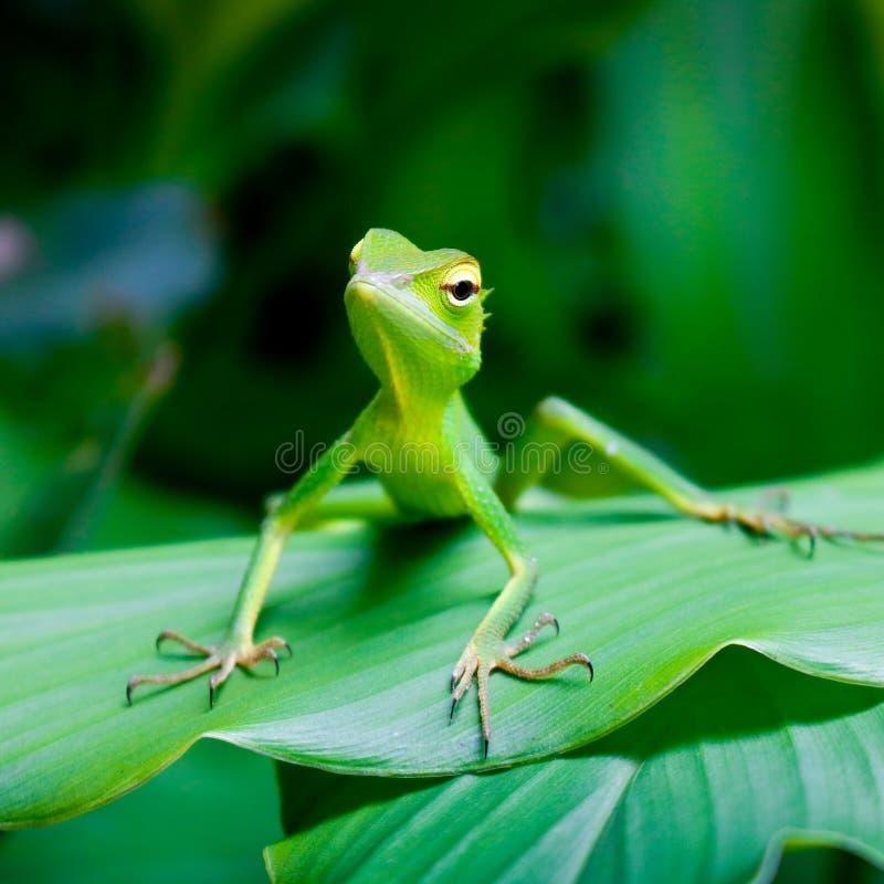 选址在叶子斯里兰卡的绿蜥蜴的美丽的绿色蜥蜴 免版税库存照片