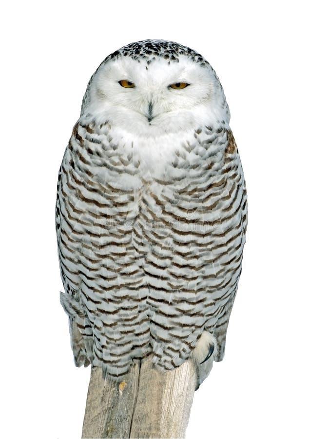 选址在木岗位的斯诺伊猫头鹰,隔绝在白色 免版税图库摄影