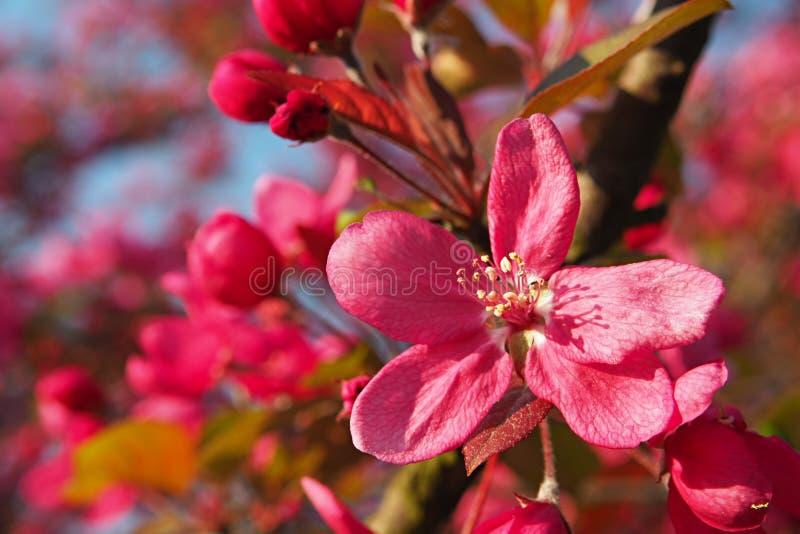 選拔在一棵開花的蘋果樹的背景的桃紅色蘋果開花圖片