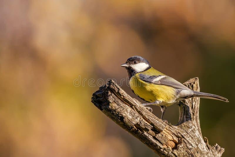 选拔在干燥枝杈栖息的五颜六色的伟大山雀歌手 库存图片