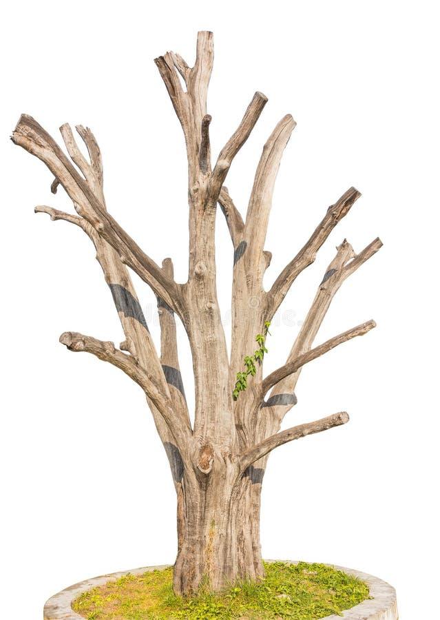 选拔在白色背景隔绝的老和死的树 图库摄影