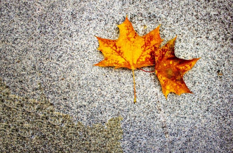 选拔在花岗岩石头地面纹理背景的黄色槭树秋天叶子 库存图片