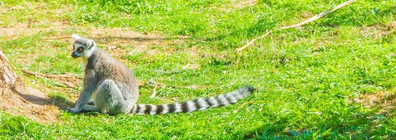 选拔坐在草动物画象的madagascan狐猴猴子 免版税库存图片