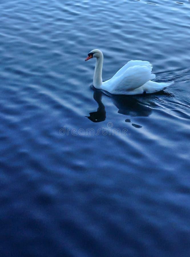 选拔漂浮在美丽的蓝色水表面上的湖作为与反射的背景和波纹的白色天鹅在他的前景 免版税库存照片