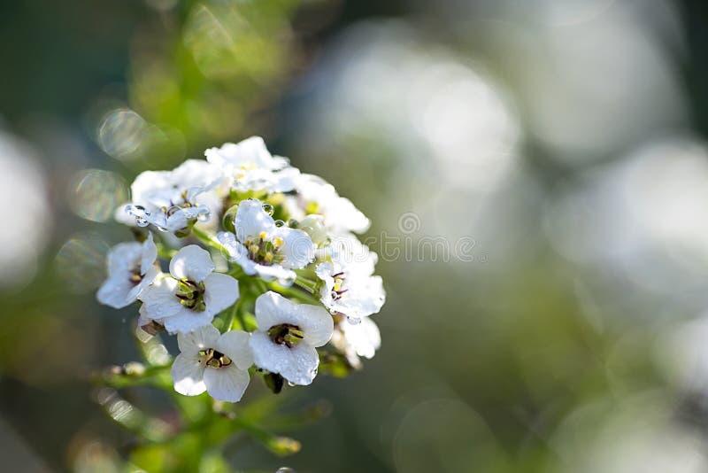 选拔白色香雪球花,一部分的十字花科家庭 露水 免版税图库摄影