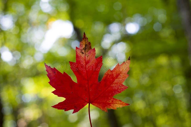 选拔红槭叶子反对绿色自然背景 库存照片
