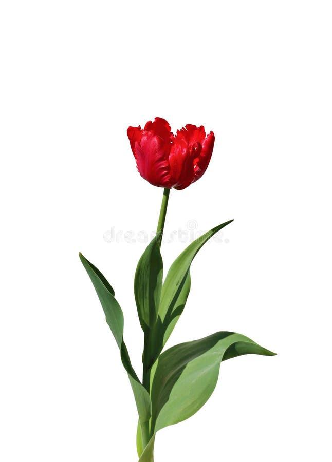选拔被隔绝的被装饰的红色郁金香 库存图片
