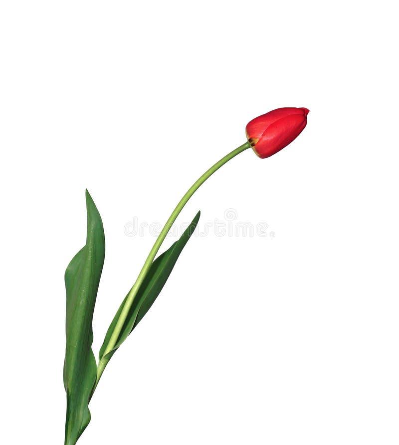选拔被隔绝的被装饰的红色郁金香 免版税图库摄影