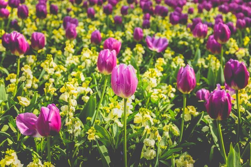 选择的焦点桃红色郁金香花在有阳光的庭院里 库存图片