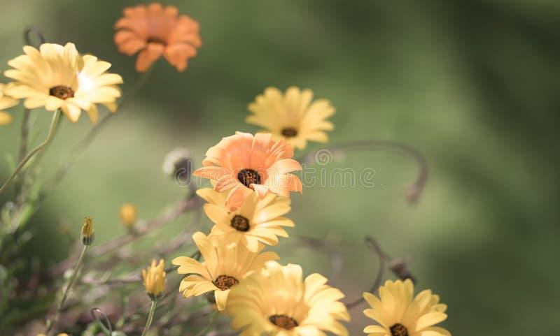 选择聚焦在一个草甸退了色黄色和橙色雏菊为 库存图片