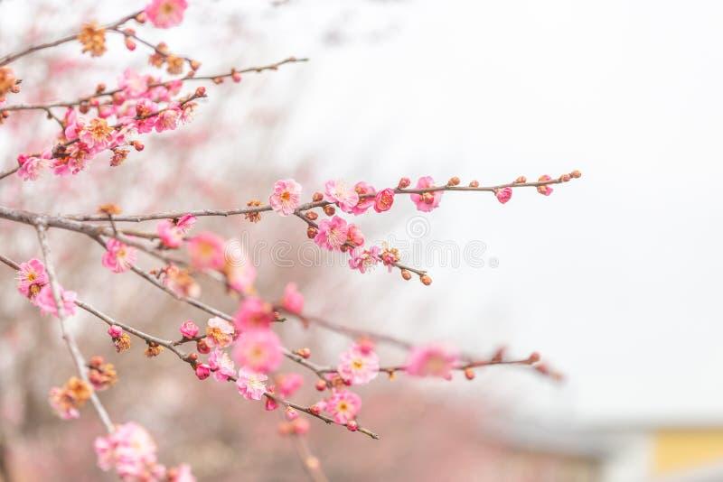 选择聚焦桃红色在日本冬时的樱花佐仓 库存照片