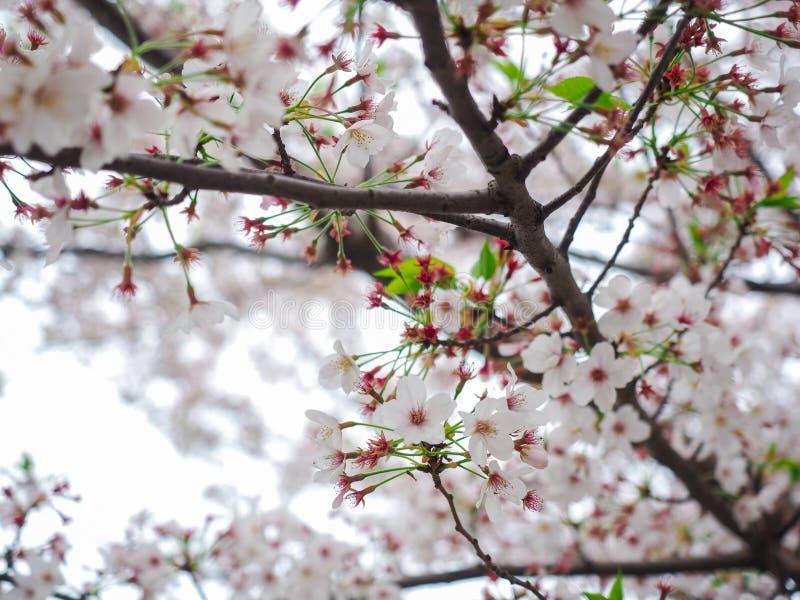 选择聚焦白色樱花(;Sakura);在自然背景的春天开花 库存图片