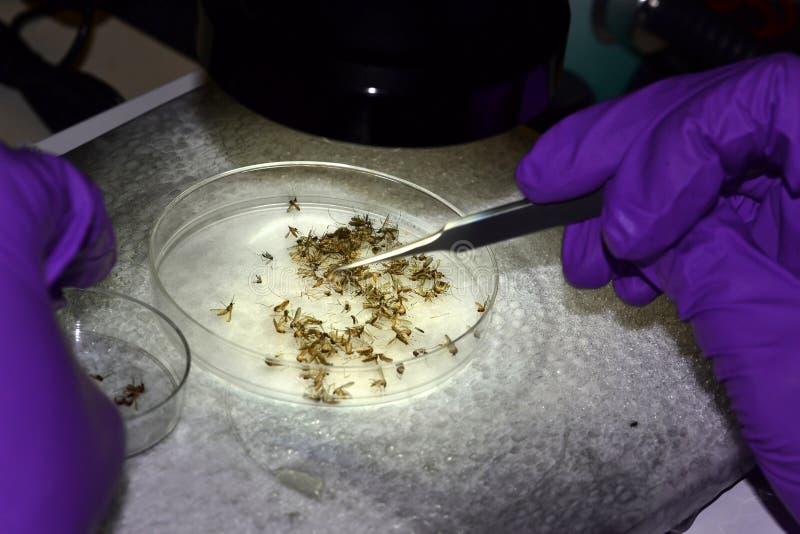 选择蚊子种类的技术员 图库摄影